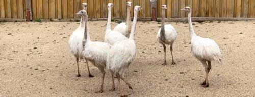 фото страуса нанду