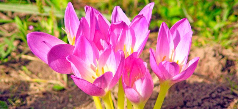 фото цветка колхикума